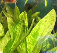 Echinodorus Marble Queen Amazon Sword Bunch Live Aquarium Plants Rooted Aquatic