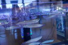 1 Silver Arowana, Osteoglossum Bicirrhosum, Freshwater Live Fish **7-8 inches**