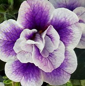 Calibrachoa Trailing Mini Petunia 'Double Blue Bicolour' Plug Plants Pack x6
