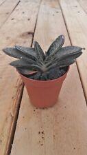 GASTERIA GRACILIS Planta suculenta viva  5,5 pot Succulent plant Cactus (107)