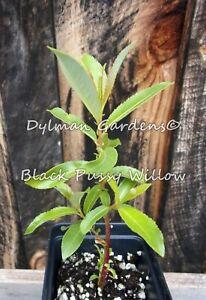 Black Pussy Willow, Live Plant - Ornamental shrub, Spring flower, Cut flowers