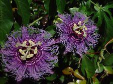 Incarnata - Passion Flower - Maypop - Beautiful Flowers - Attracts Butterflies!