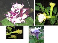 🔥 Datura Mix 3 * 2-3 fach gefüllte Blüte 4 Sorten je 15 Samen Kübelpflanze