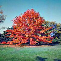 BLACKGUM SEEDS NYSSA SYLVATICA FLOWERING COLOUR FEATURE TREE 20 SEED PACK