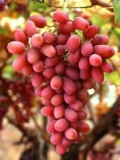 """5x 8-10"""" Cuttings of Red Flame Seedless Grape Vine, Zone 6+"""