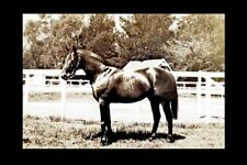 NIGHT RAID sire of PHAR LAP - 1932 Timaru NZ racehorse modern Digital Postcard