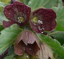 Hyoscyamus reticulatus 50 Fresh Seeds