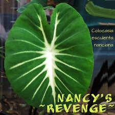 ~NANCY'S REVENGE~ TARO Colocasia esculenta nanciana Elephant Ear Starter Plant