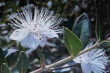 5 Samen griechische Myrthe,Myrtus communis#543