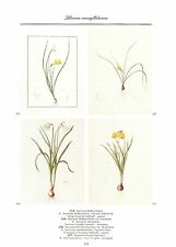"1986 Vintage REDOUTE FLOWER ""4 NARCISSUS HOOP PETTICOAT"" COLOR Art Lithograph"
