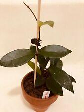 Hoya Carnosa Variety - Live Indoor House Wax Plant, 4 INCH