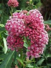 OLD FASHIONED TALL BUTTERFLY WEED- 15 SEEDS! COMB. S/H!  HUMMINGBIRD PLANT!
