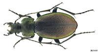 Carabidae Carabus (Morphocarabus) regalis ssp. Russia S.Siberia 23mm