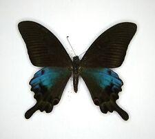 Papilio hoppo du Taiwan A- ED