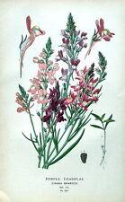 Edward Step Antique Botanical Print 1897 PURPLE TOADFLAX,LINARIA BIPARTITA,
