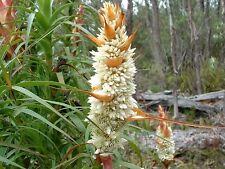 Richea dracophylla -Dragon Heath - 15 seeds+