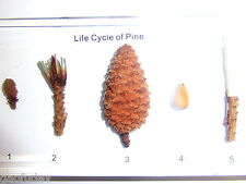New listing Pine Tree Life Cycle 5 Stages Set in Clear Block Education Plant Specimen