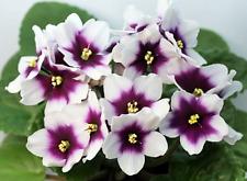 ☘ OPTIMARA myLove ☘ African Violet Plant Saintpaulia ☘ Starter Plug ☘ 2014