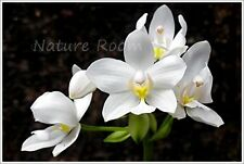 5 Bulbs White Spathoglottis Ground Orchid Flower Fresh Beautiful Rare Plants