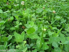 Ladino Clover Seeds - 25 Lbs.
