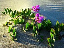 Beach Pea, Lathyrus japonicus maritimus, 25 seeds, cold hardy, erosion control