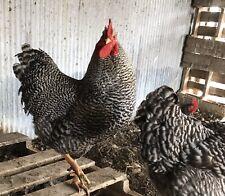 12 Fertile Barred Rock Hatching Eggs