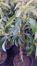 "Wurtz -  ""Little Cado"" Avocado - Grafted Tree - 2 to 3 Feet Tall"