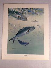Vintage Bob Hines Fish Art Print US Dept Of Interior Bluefish Bob Hines 1972
