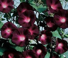 Black Knight�Morning Glory�5 Seeds·Annual·Flowers·C limbing·Vine·Rare