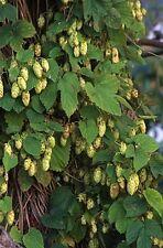 Humulus lupulus WILLAMETTE HOPS Vine Seeds!