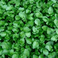 Seeds Salad Lettuce Watercress Broadleaf Wild Vegetable Organic Heirloom Ukraine