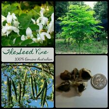 10 ORGANIC MIRACLE TREE SEEDS (Moringa Oleifera) FastGrow Medicinal Tree of Life