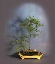 Chinese Elm bonsai tree, Elm bonsai series from Samurai-Gardens