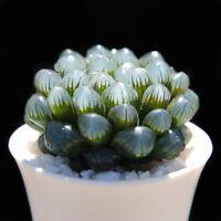 Succulent Live Plants - Haworthia cooperi Baker 4cm - Garden Lovely Rare Plants