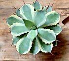 Agava Potatorum cv Kichijokan Rare Form Succulent Plant Large