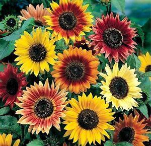 Sunflower Seeds, Autumn Beauty, Multi Colored, Heirloom Sunflower Seeds, 50ct