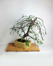 Mature Catlin Elm bonsai tree from the estate of Hirobumi Aso