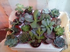 5 x Mixed Succulent Plants (Echeveria/Crassula/Aloe) In 5.5cm Pots