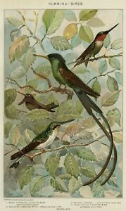 HUMMINGBIRDS: Authentic 1902 (Dated) Natural History Stone Chromolithograph