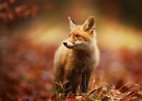 Adorable Forest Fox Cub Poster Size A4 / A3 Wild Animals Poster Gift #8116