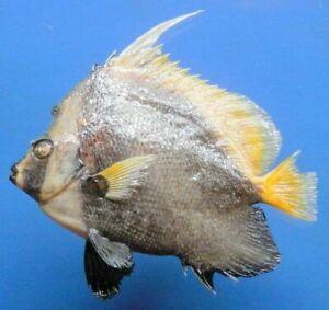Singular bannerfish Heniochus singularius Fish Taxidermy Oddities (80421,170 mm)