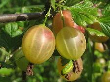 5 graines de GROSEILLE A MAQUEREAU(Ribes Uva-Crispa)H377 GOOSEBERRY SEEDS SAMEN