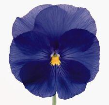 0.2g (~ 200) true blue large pansy seeds VIOLA X WITTROCKIANA sky blue color Big