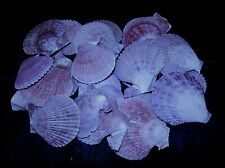 TWENTY FIVE  (25) PURPLE NOBILIS PECTEN  SINGLE SEA SHELLS  BEACH  DECOR CRAFT