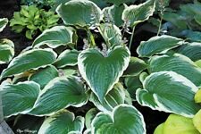 GONE WITH THE WIND HOSTA PLANT Olga Petryszyn 2010 new introduction!