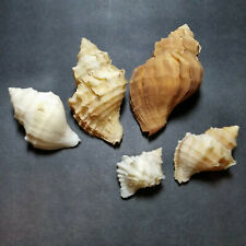 five Thais (Nucella) lamellosa - variations in size and color, w/ operculum