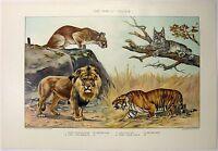 Cat Family - Felidae: Original 1902 Dated Chromo-Lithograph by Julius Bien & Co.