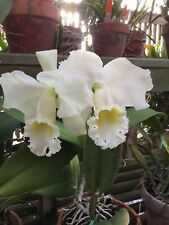 "C. Bow Bells 'July' Large ""Heirloom"" Orchid Division"
