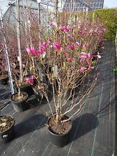Magnolia liliiflora Susan, purpur Magnolie, 140cm Solitär