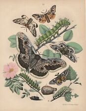 Eichenspinner Lasiocampa quercus Glucken Nachtfalter Raupen LITHOGRAPHIE v. 1870